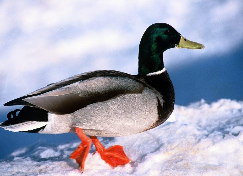 canard hiver