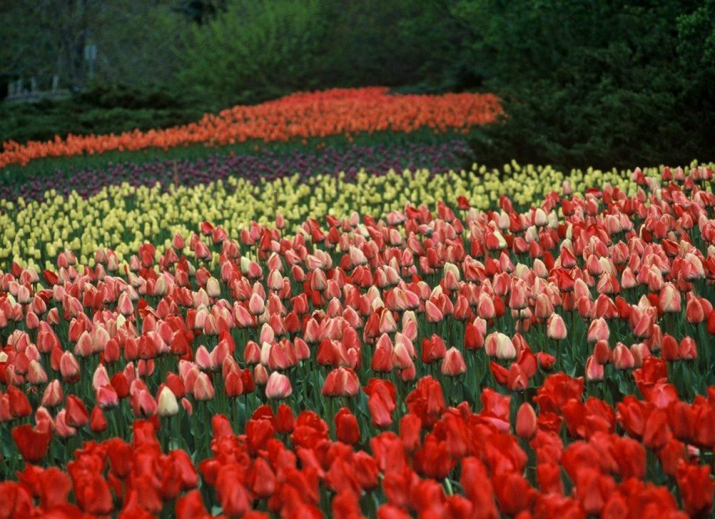 tulipes canada
