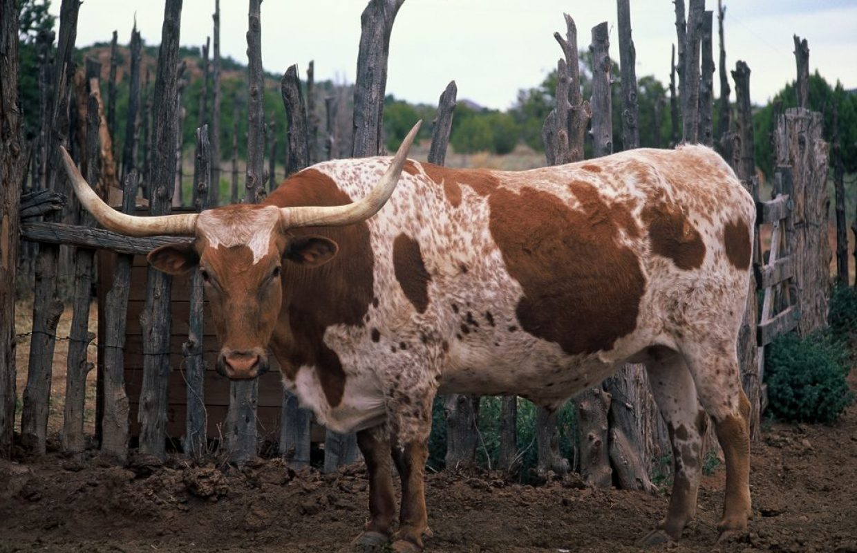 bull californie