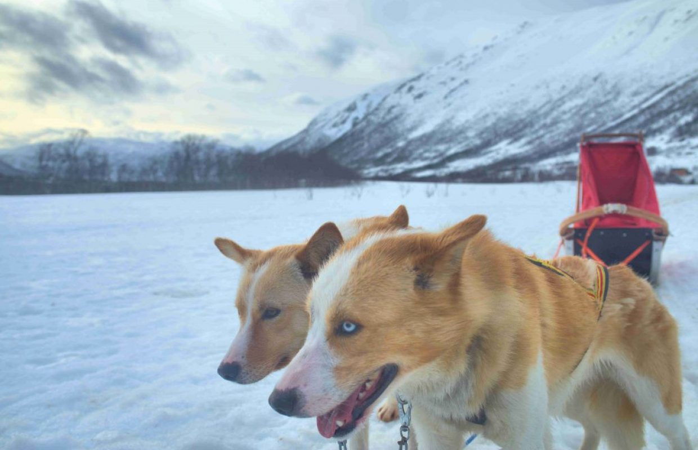 chiens de traineau norvege
