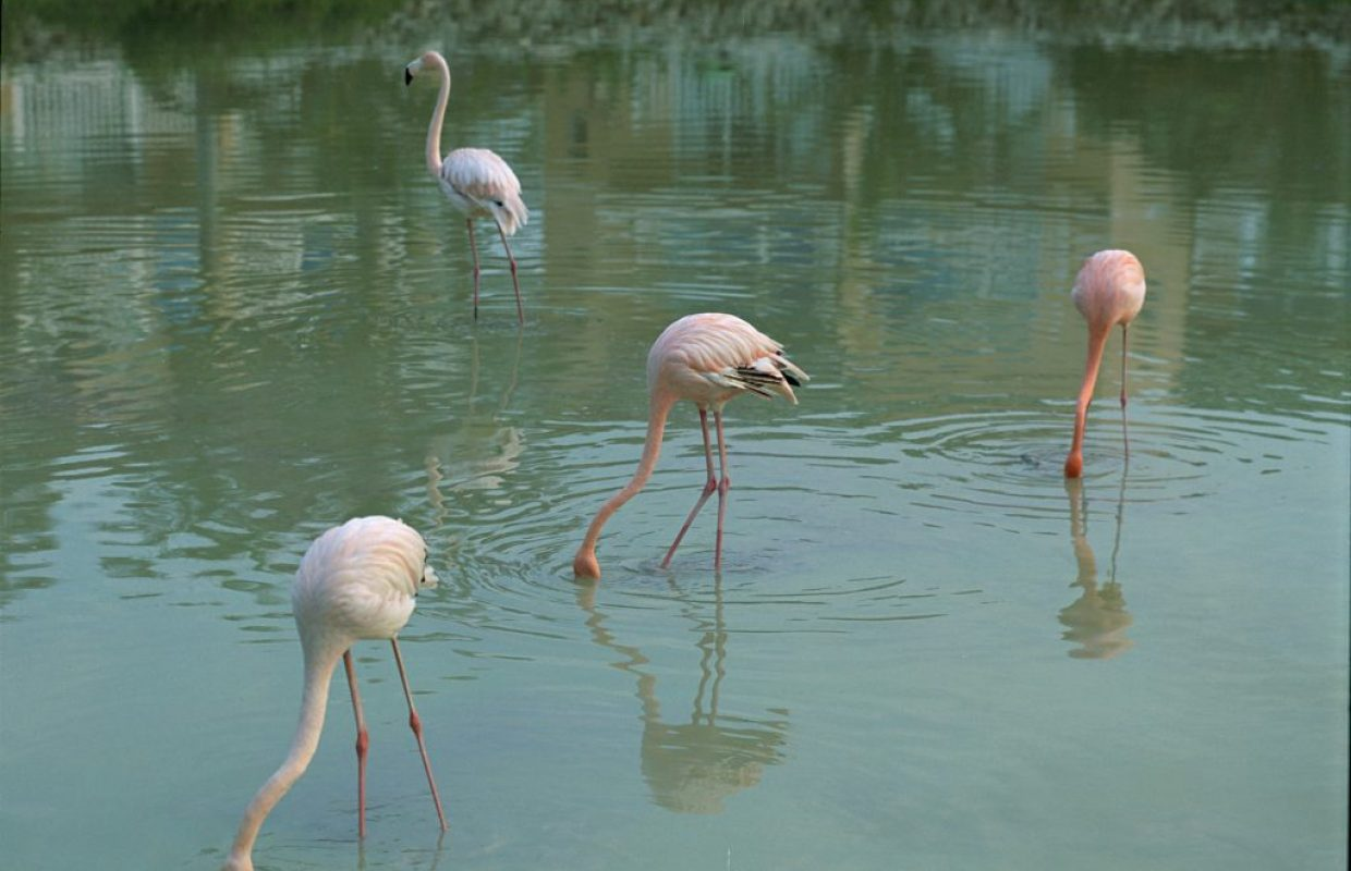 flamants rose cuba
